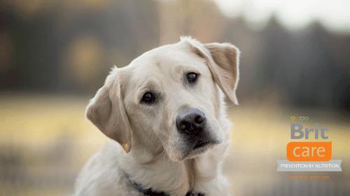 Влажные корма для собак Брит (Brit) – великолепное питание для собак из противоаллергического сырья.