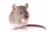 Мыши, крысы